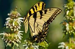 西部老虎Swallowtail蝴蝶 图库摄影