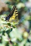 西部老虎Swallowtail (Papilio rutulus) 免版税库存照片
