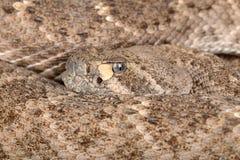 西部菱纹背响尾蛇响尾蛇。 库存图片