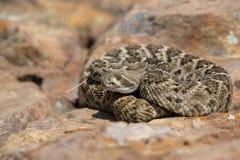 西部菱纹背响尾蛇响尾蛇坐红色岩石 免版税库存照片