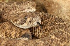 西部菱纹背响尾蛇的响尾蛇 库存图片