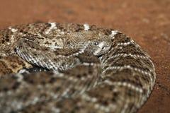 西部菱纹背响尾蛇的响尾蛇 免版税库存图片