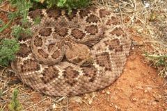 西部菱纹背响尾蛇的响尾蛇 库存照片