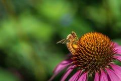 西部蜂蜜蜂 库存照片