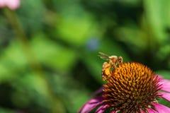 西部蜂蜜蜂 库存图片