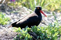 西部阿拉斯加沿海水鸟黑色蛎鹬 库存图片