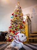 西部高地在圣诞树前面的白色狗狗 图库摄影