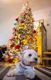 西部高地在圣诞树前面的白色狗狗 免版税库存图片