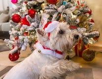 西部高地在圣诞树前面的白色狗狗 库存图片