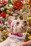 西部高地在圣诞树前面的白色狗狗 库存照片