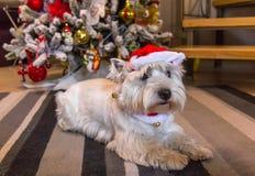 西部高地在圣诞树前面的白色狗狗 免版税库存照片