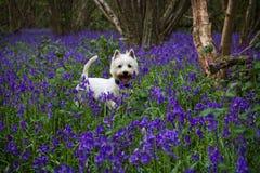 西部高地狗在会开蓝色钟形花的草森林 免版税库存照片