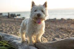 西部高地白色狗一条非常悦目狗 免版税库存照片