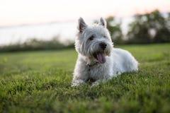 西部高地白色狗一条非常悦目狗 免版税库存图片
