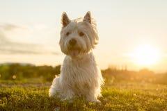 西部高地白色狗一条非常悦目狗 库存照片
