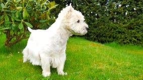 西部高地白色狗坐新鲜的绿草在庭院里 狗观看周围并且是机敏的,它sudd 股票录像