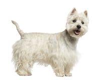 西部高地白色狗气喘的侧视图 库存照片
