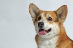西部高地白色狗狗 免版税库存图片