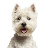 西部高地白色狗的特写镜头,看照相机, 18个月 库存图片