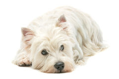 西部高地白色狗 免版税库存照片