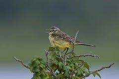 西部黄色令科之鸟Motacilla flava 图库摄影