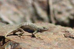 西部鼓起的蓝色范围的蜥蜴 免版税库存图片