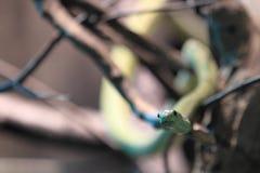 西部绿眼镜蛇 库存图片