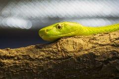西部绿眼镜蛇(Dendroaspis viridis) 免版税图库摄影