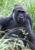 西部02个大猩猩的低地 免版税库存照片