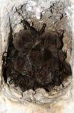 西部Barbastelle Barbastella barbastellus 库存照片