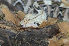 西部gaboon蛇蝎细节 库存图片