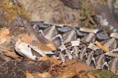 西部gaboon蛇蝎 免版税库存照片