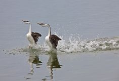 西部grebe的湖 图库摄影