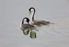 西部grebe的湖 免版税库存图片