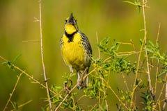 西部Meadowlark唱歌 免版税库存照片