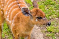 西部sitatunga marshbuck橙色毛皮白色条纹 免版税图库摄影