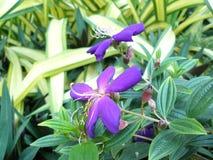 巴西醉蝶花属 库存图片