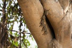 巴西长颚的(象鼻)棒殖民地在树的 免版税库存照片