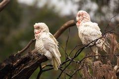 西长嘴鸟的科雷利亚,美冠鹦鹉 免版税库存照片