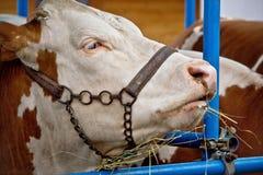 西门塔尔牛公牛画象在谷仓 免版税库存图片
