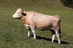 西门塔尔牛母牛在瑞士 免版税库存照片