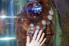 西雅图,华盛顿,美国- 2017年1月25日, :在一个大海水水族馆的共同的章鱼在有妇女的玻璃墙后 库存照片