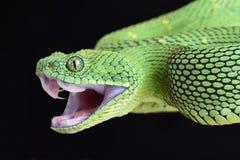 西非灌木蛇蝎Atheris chlorechis攻击 免版税库存图片