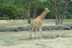 西非长颈鹿 库存图片
