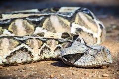 西非gaboon蛇蝎 免版税库存照片
