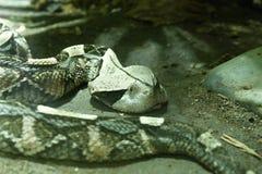 西非gaboon蛇蝎 免版税库存图片