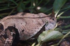 西非Gaboon蛇蝎- Bitis gabonica犀牛 免版税库存图片