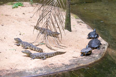 巴西鳄鱼和异乎寻常的乌龟本质上 免版税库存图片