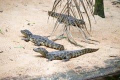 巴西鳄鱼和异乎寻常的乌龟本质上 库存图片