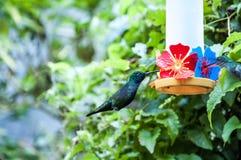 巴西鸟 免版税库存图片